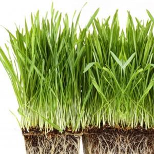 Barley-grass1